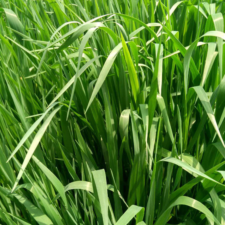 Top Quality Grass Fodder Seeds QINNO.1 Australian Oat Hay Seeds For Forage