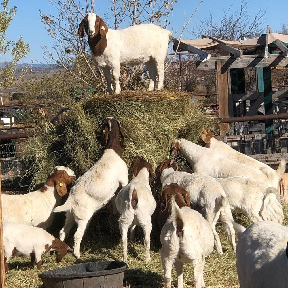 100% Full Blood Boer Goats/ Live Sheep, Goats and Cattle for sale.