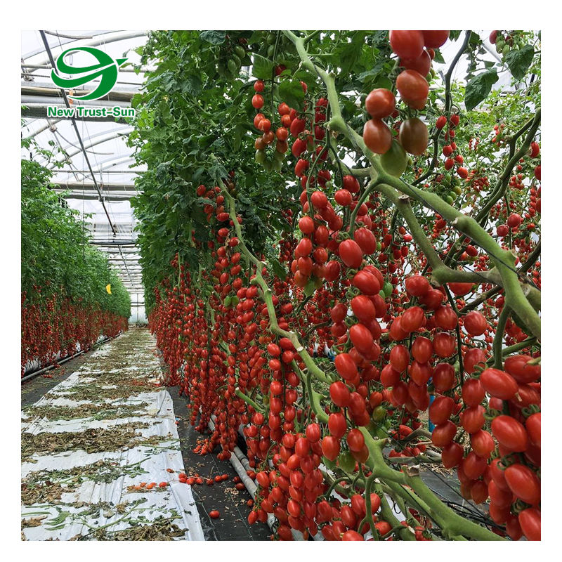 High quality polycarbonate sheet tropical greenhouse for tomato cultivation