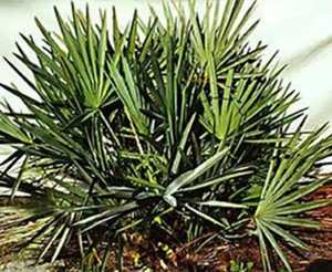 High Quality Natural Saw Palmetto Fruit Extract 20 1