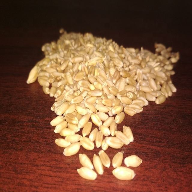 Wholesale organic wheat grain, forage seeds/Bulk Wheat Seed for Sale in Germany