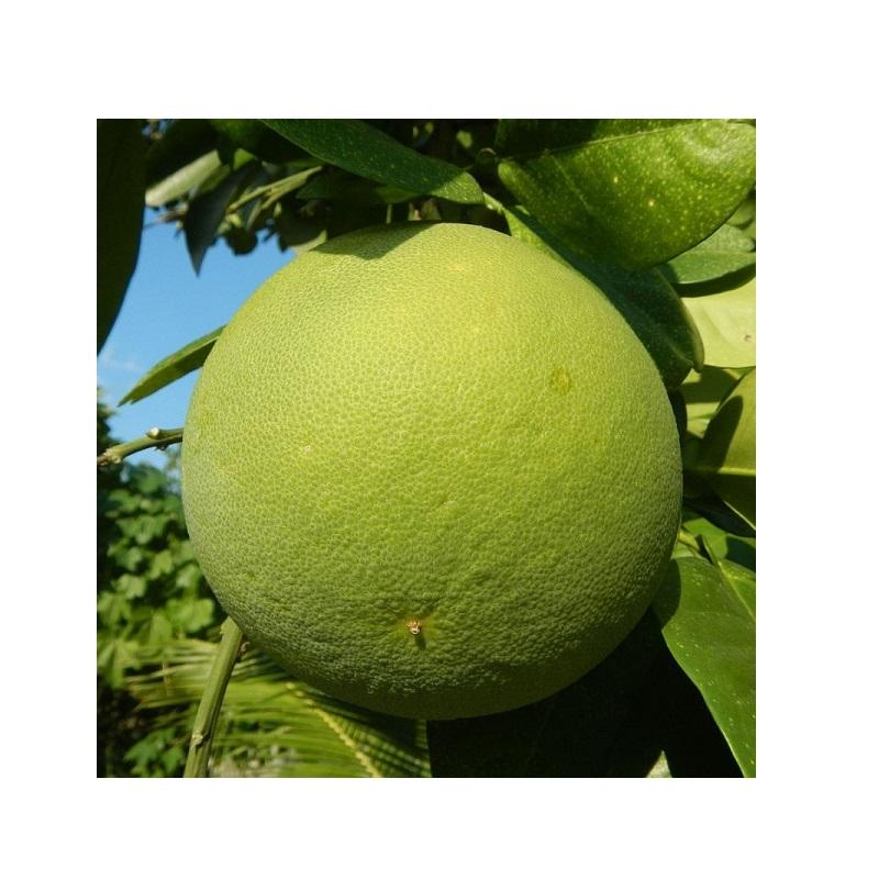 High Quality Pomelo Fruits From Vietnam! New Crop Sweet Pomelo/Grapefruit at Competitive Price! Fresh Sweet Pomelo