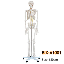 BIX-A1001 180cm high quality human anatomy skeleton