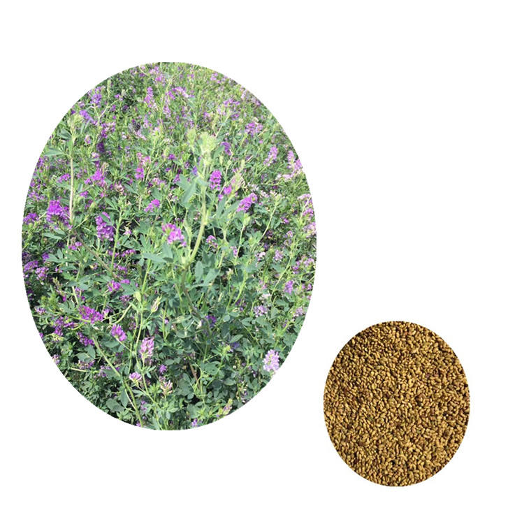 Chinese Coated Alfalfa Seeds Lucerne Coated Medicago Sativa Seeds For Growing