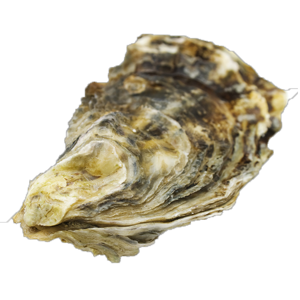 Natural dried dry unpolished raw oyster shell