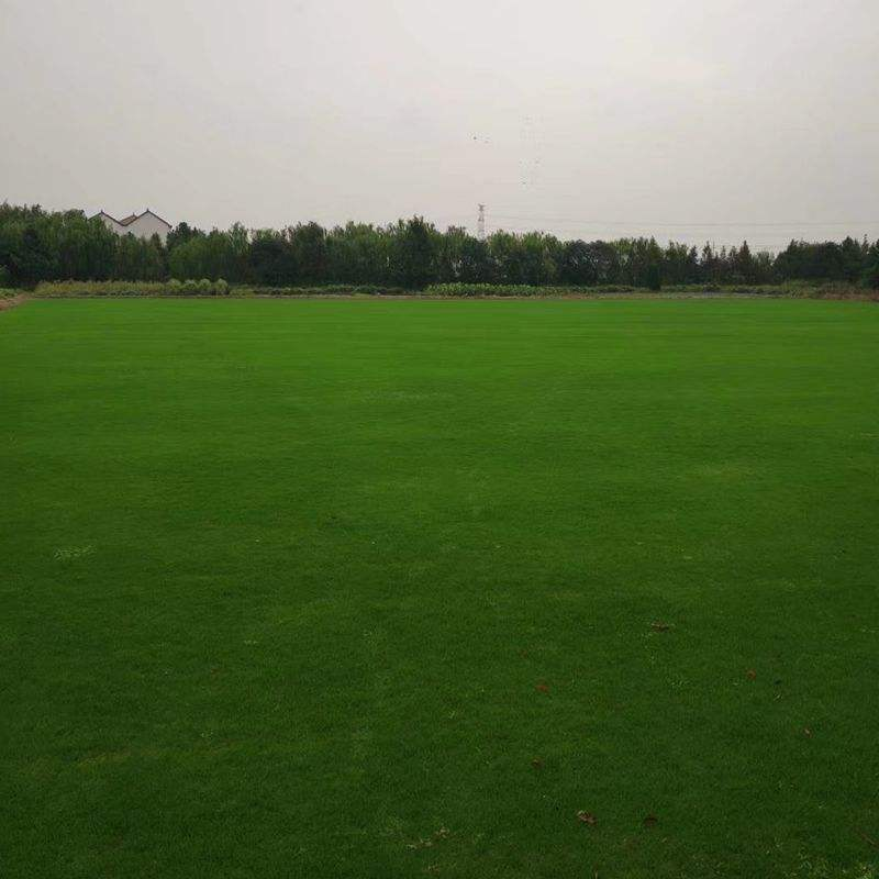 Good quality turf grass seeds Bermuda grass seeds for cultivation