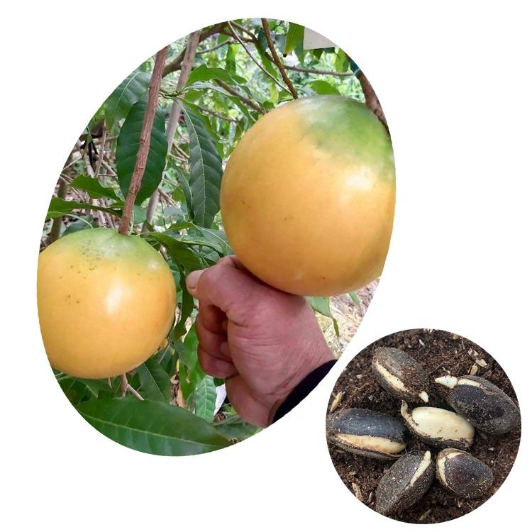Top Quality Exotic Rare Tropical Fruit Tree High Germination Rate Abiu Seeds