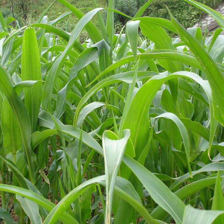 Pasture grass seed sorghum hybrid sudangrass with drought and cold resistant