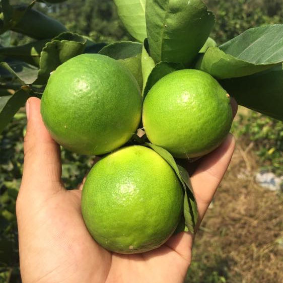 FRESH SEEDLESS LIME/GREEN LEMON FRUIT WITHOUT SEED FROM VIETNAM WITH HIGH QUALITY