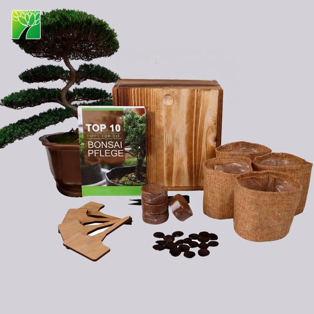 Amazon Top Selling DIY real live bonsai tree starter kit grow to Podocarpus Macrophyllus