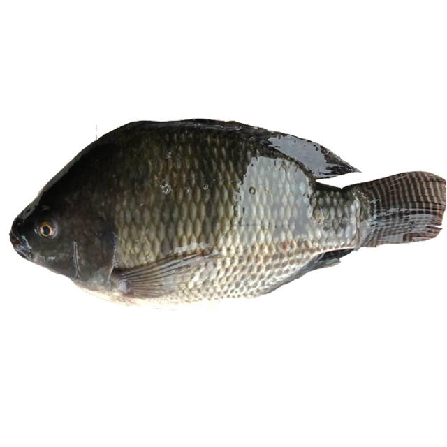 Hot Sale Whole Round Live Black Tilapia Fish Frozen