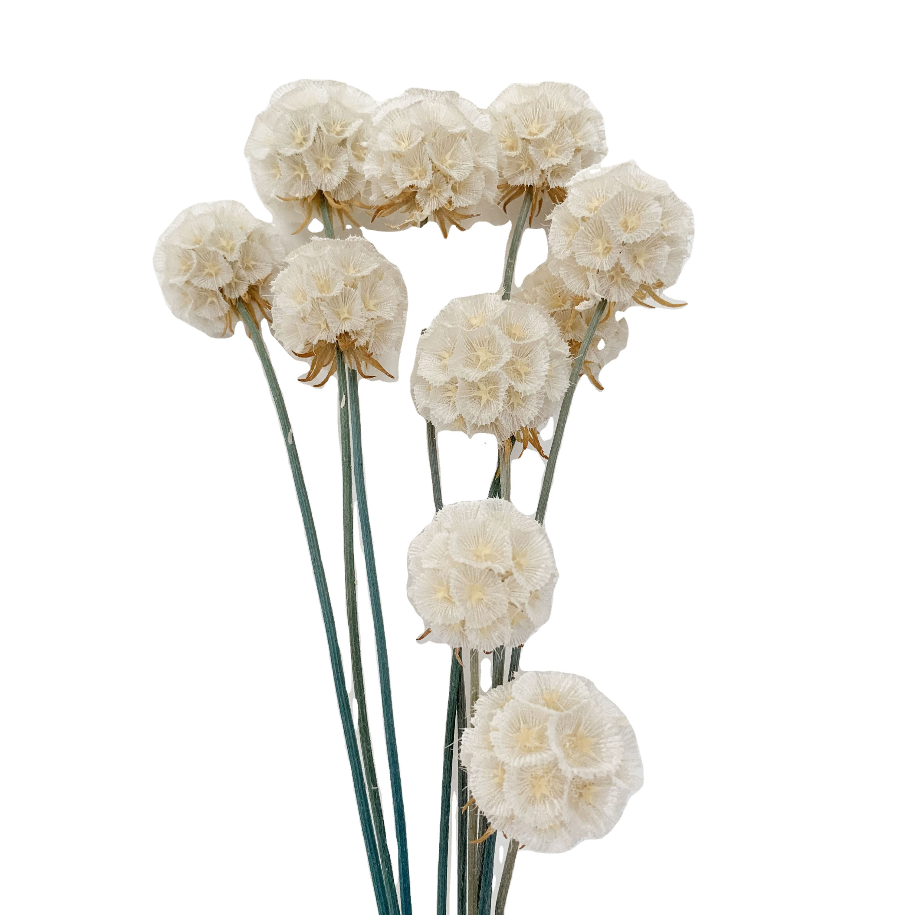 Wholesale Natural Preserved Flower Windmill Fruit Scabiosa For Flower Arrangement Morning Bride