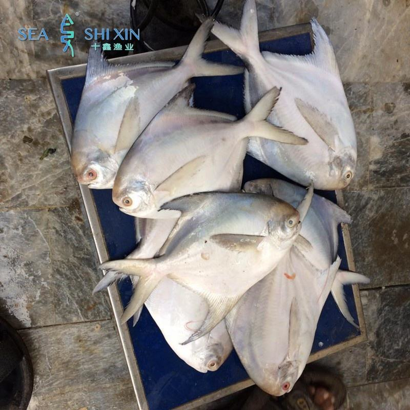 seafood exporter live frozen silver white pomfret fish farming fresh on sale