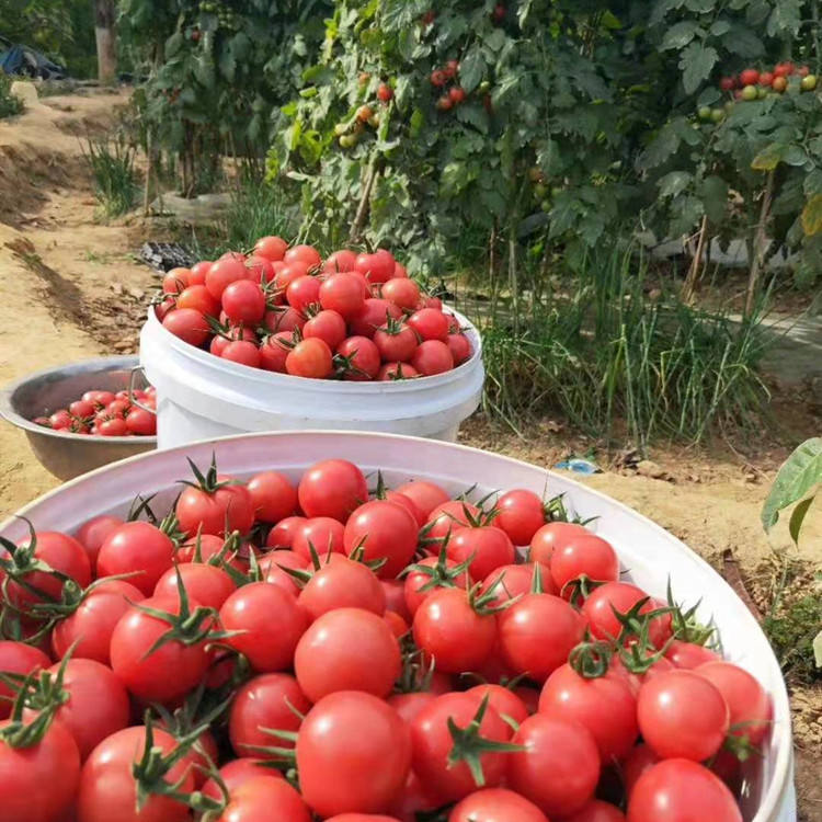 2021 High Quality Vegetable Seeds Hybrid Little Round Tomato Seeds For Planting