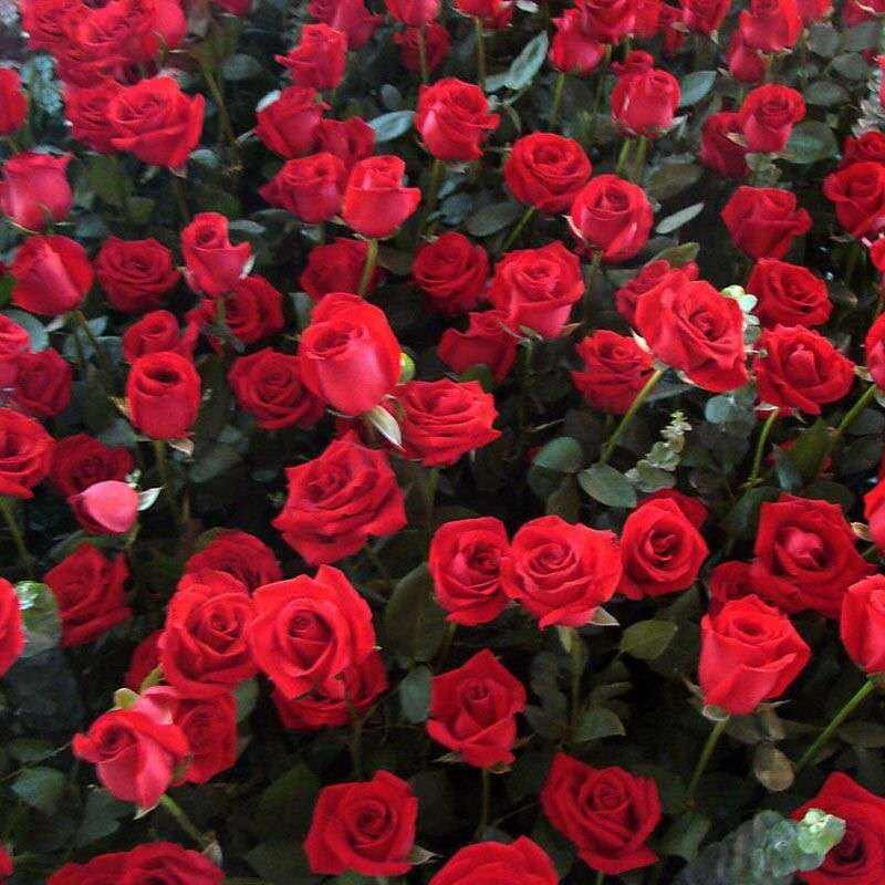 S443 High quality rose seed for planting