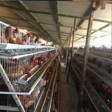 zambia 10000 layer chickens farm bird cage system for sale