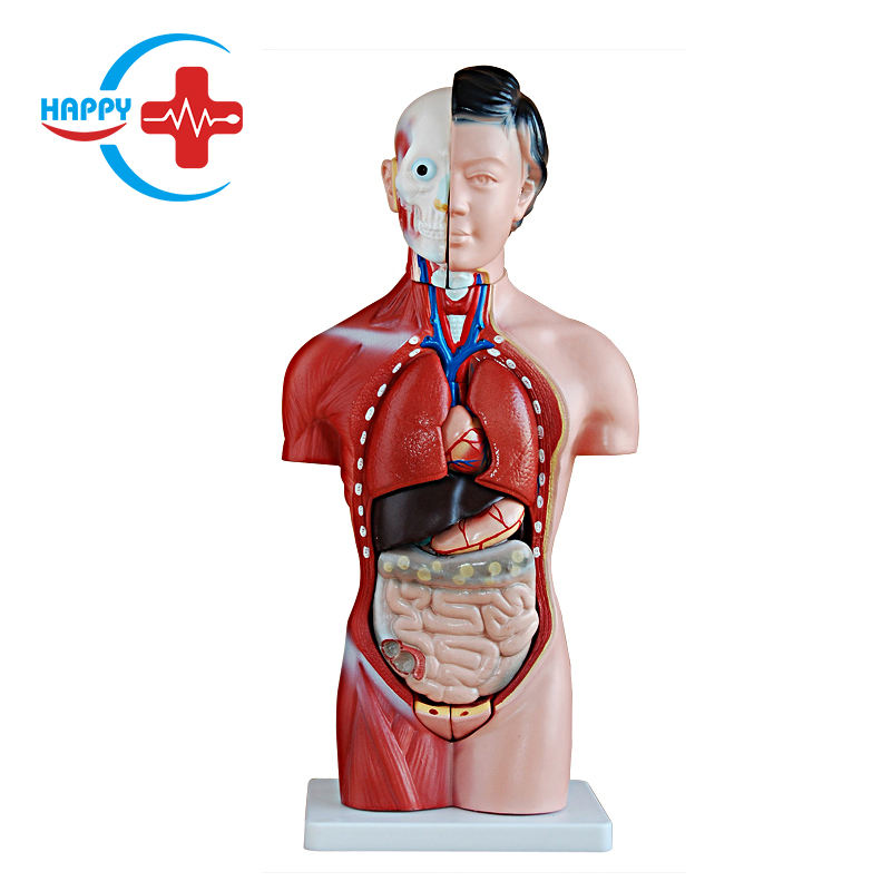 HC-S244 Human anatomical model, 42CM female torso model 13 pieces with competitive price