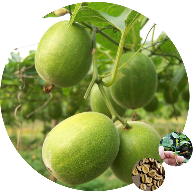 Free shipping of chinese high quality Fresh luo han guo monk/Siraitia grosvenorii fruit seeds