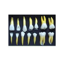 High Quality 4 Times Permanent Anatomical Dental Teeth Right 14 For Student