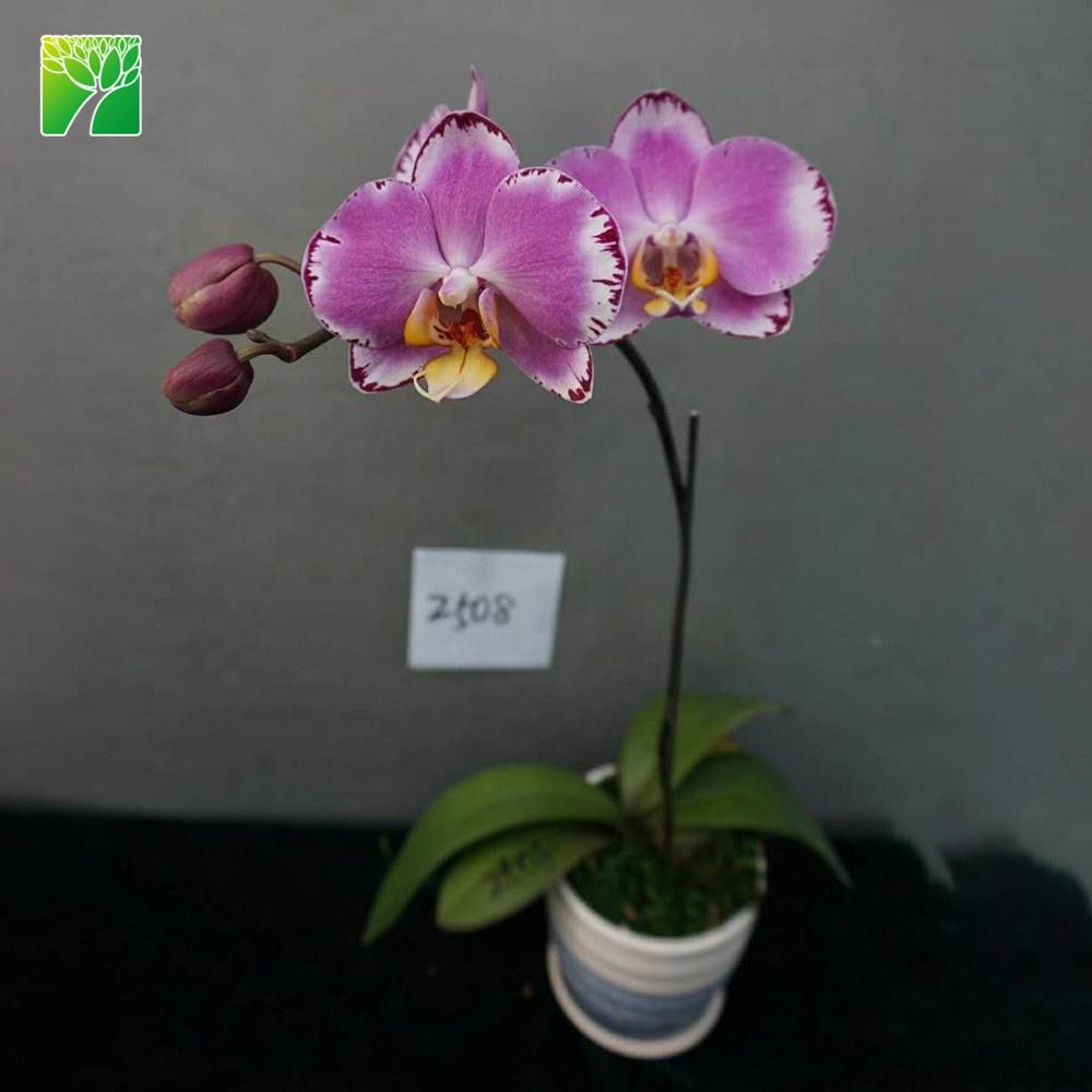 Pink flower seedling phalaenopsis orchids seedling flask for sale