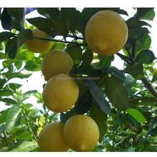 Montale Rich in Vitamin Fresh Lime Fruit Organic Oranges Lemon