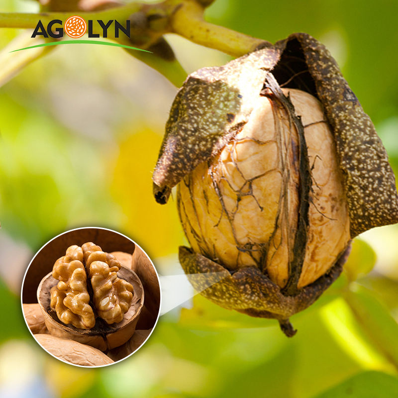 AGOLYN Thin Shell Fresh Delicious Nutrition Chinese Walnut/ Walnut kernel