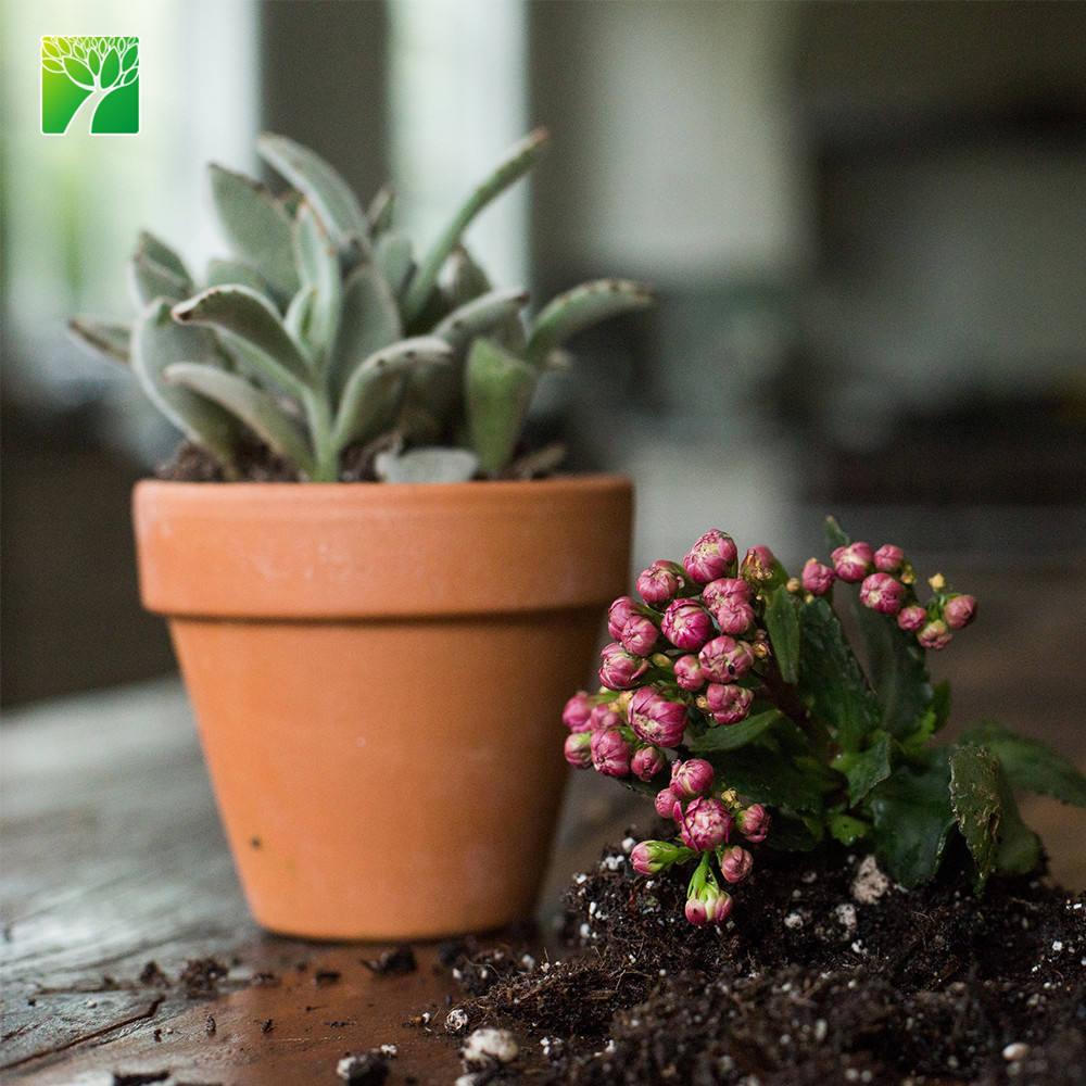 unpotted Planta De Aloe Vera Medicinal hasta 10cm de altura