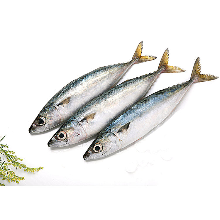 Hot Sale 100% Frozen Pacific Mackerel