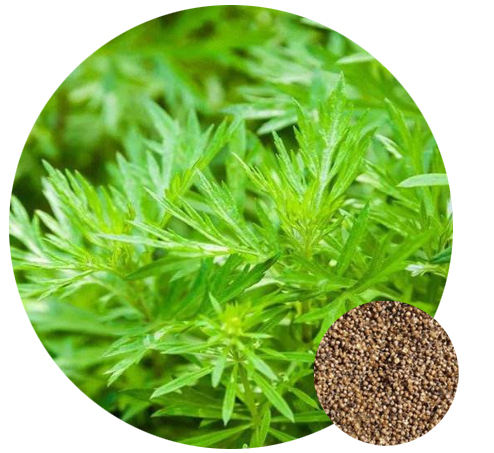 2020 Chinese high quality Fresh medicinal Artemisia annua /Sweet wormwood seeds for planting