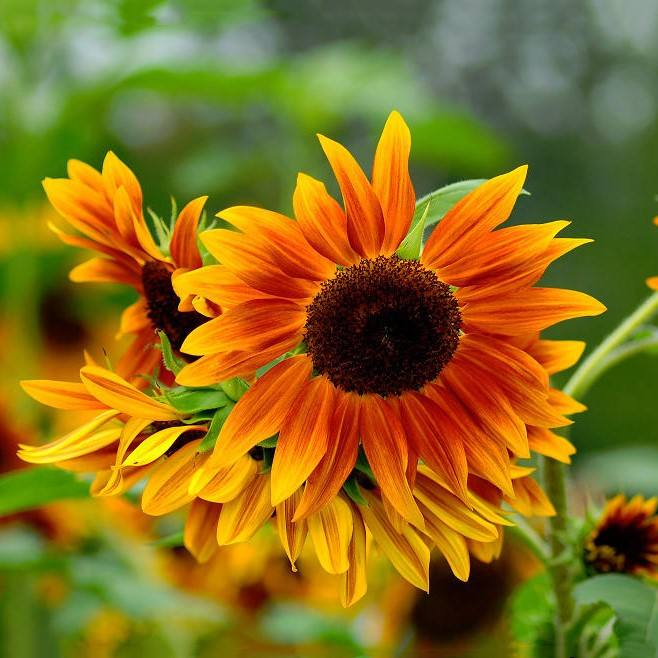 Top quality flower seeds ornamental chinese sunflower seeds for growing