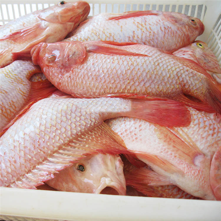 Fresh arrival red tilapia tilapia wholesale price frozen fish tilapia