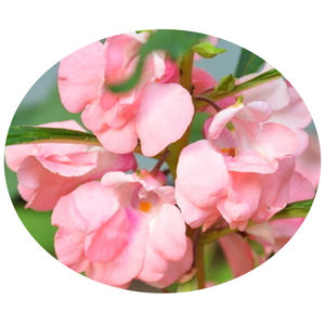Cooking Impatiens balsamina Garden impatiens Rose Balsam flower seeds