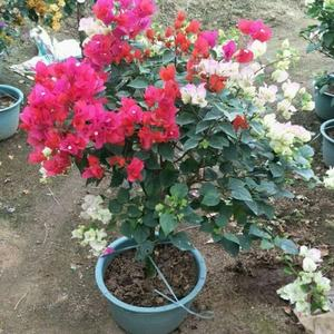 whole sale high quality bougainvillea colorful