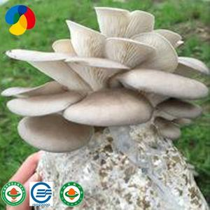 edible fungi inoculated oyster mushroom grow kit