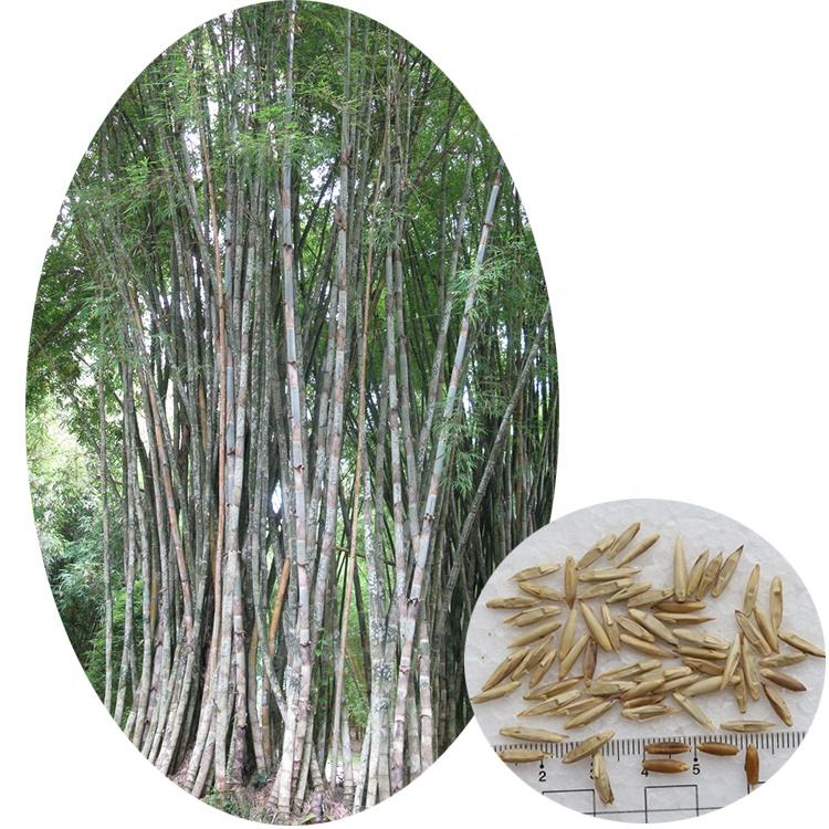 Authentic 2020 fresh harvest tropical plant Bambusa polymorpha bamboo seeds