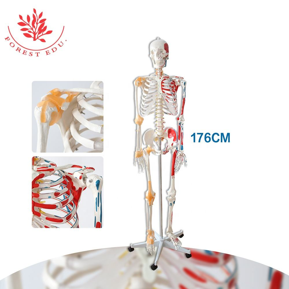 Life Size Flexible Spine Muscle Insertions and Origins and Flexible Ligaments Human Anatomical Skeleton Medical Model