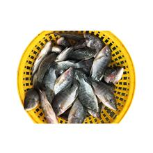 Fresh  Frozen Tilapia  Fish On Sale