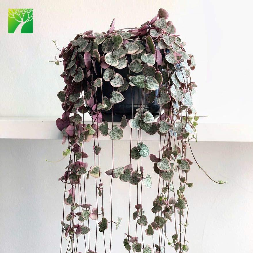 Newest indoor decoration Ceropegia Woodii Variegata Chain of Hearts hanging basket plant live succulent