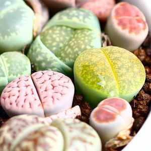 Lithops Mini Garden cactus Indoor Office Home Ornamental Colorful Growing Live Cactus 3 cm