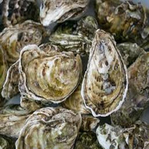 New Season Frozen 5-11G Meat Oyster