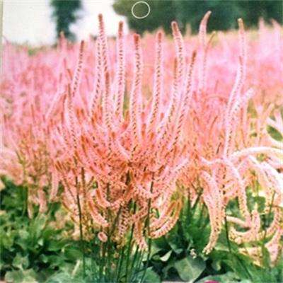 Beautiful flower seeds sunshine drought tolerance Rare Limonium Suworowii Tail seed