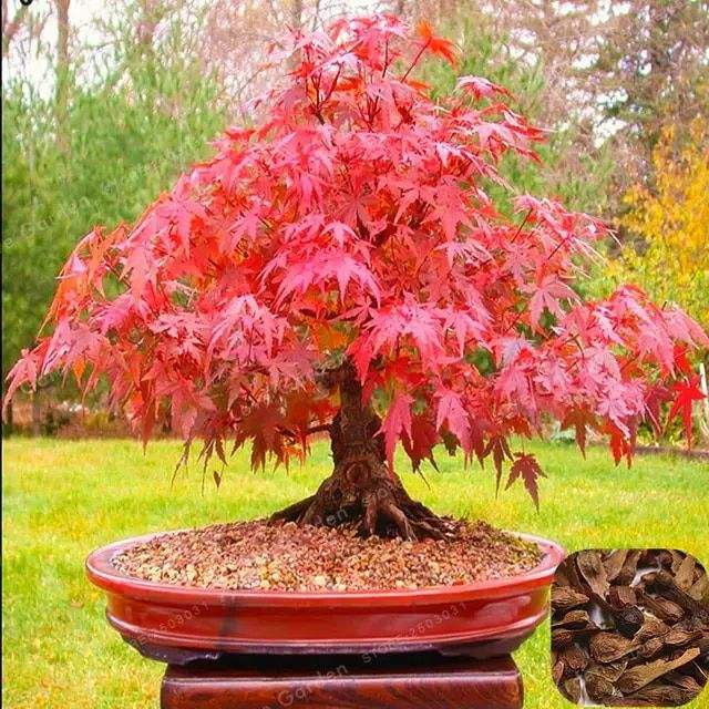 Acerpalmatum Seeds Hong feng Best price bulk Acer palmatum seeds Acer rubrum Japanese Maple tree seeds for