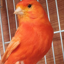 All Live Canary Birds/ Finches/Love Birds /Yorkshire for sale