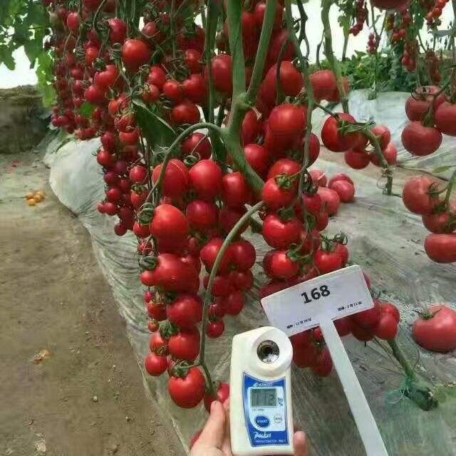 Red color oval shape Indeterminate cherry tomato seeds