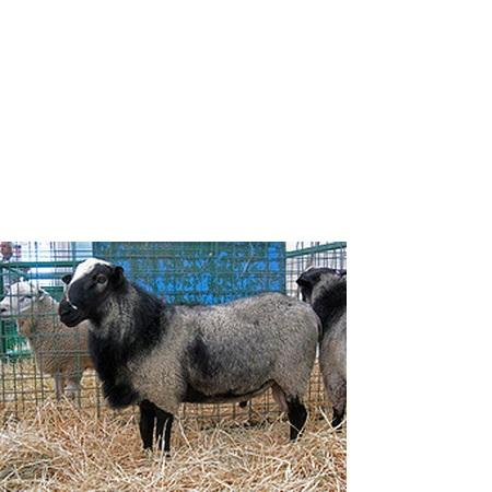 Breeding Romanov Sheep for Good Market Price...