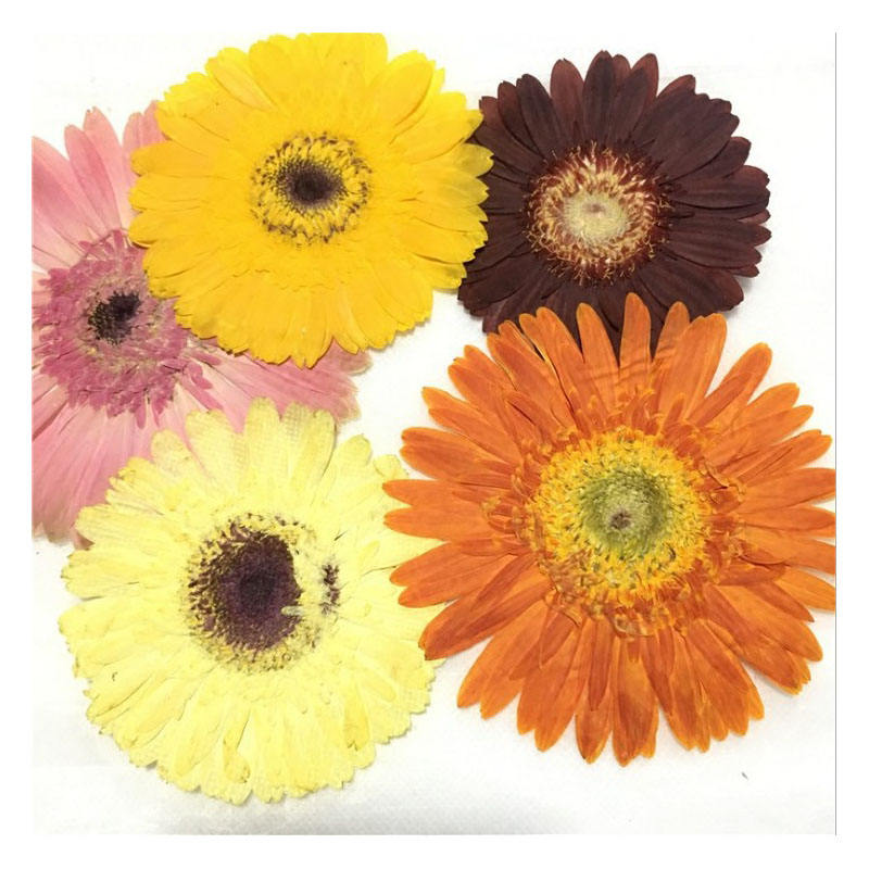 INS hot dried flower Gerbera pressed flower for Epoxy flower material