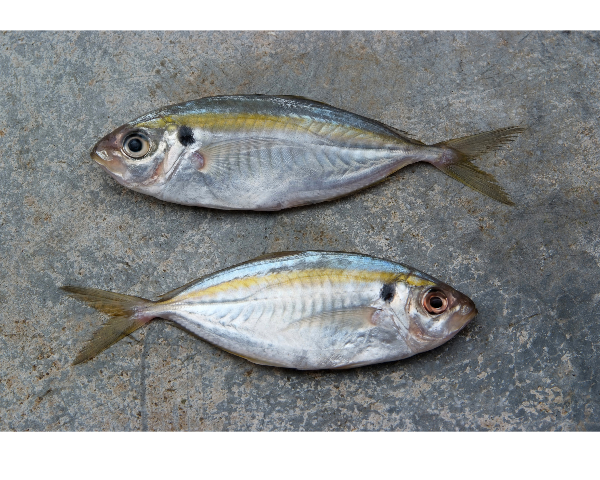 Frozen Yellow Stripe Trevally GGS from Vietnam FOB Price Good Quality (10kg/carton) - NW: 8 kg - Glazing: 20%