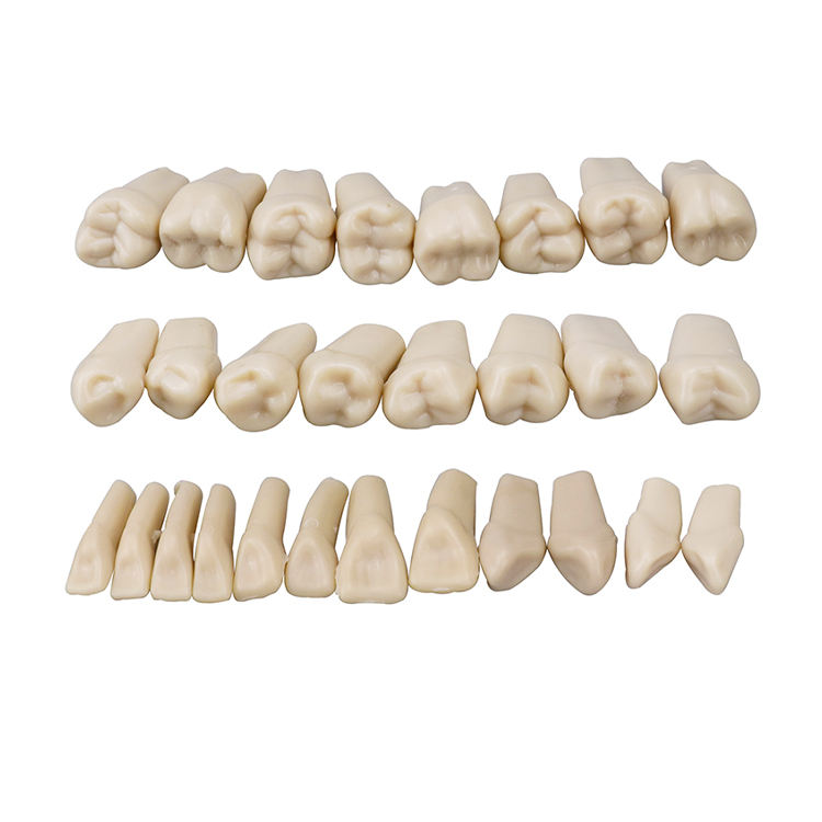 Natural Model Teeth Practice And Oral Teaching Replace Detachable Dental Teeth Model / Dental Model 28pcs