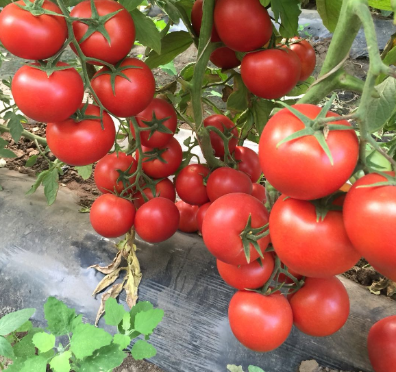 hybrid tomato seeds Israel Unlimited