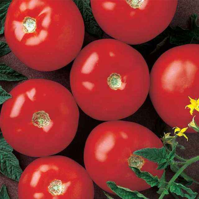 High Quality Farm Fresh Tomatoes